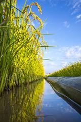 田野風光 (Chia Hsien) Tags: 台灣 臺灣 taiwan 植物 農作物 plant crop paddy 稻田 rice asia reflection 倒影 bluesky canon 5d4 eos canonef1635mmf28liiusm