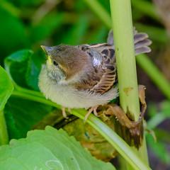 Helmsley Walled Garden (alh1) Tags: helmsleywalledgarden england yorkshire sparrow ryedale