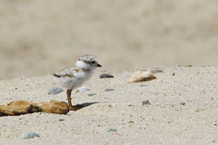 Piping Plover Chick (brucetopher) Tags: piping plover pipingplover sand beach bird shorebird migratory chick baby puffball white camouflage little creature animal wildlife nature natural outdoors outside edge conservation beauty beautiful wild wilderness coast coastal seacoast dune dunes seabird atlantic sandpiper tiny cute
