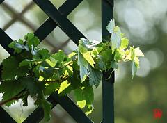 """""""La vigne a servi à la nourriture des hommes et même à leur habillement. """" (mamnic47 - Over 9 millions views.Thks!) Tags: loggia plantes 14072018 6c8a8325 vigne saintcloud"""