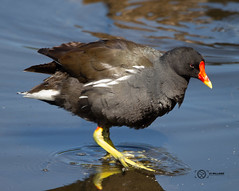 Moorhen (Low Barns) (simon.williams28) Tags: nature north east birds twitcher twitchers northumberlandwildlifetrust durhamwildlifetrust wildlife naturereserve lowbarnsnaturereserve gosforthparknaturereserve