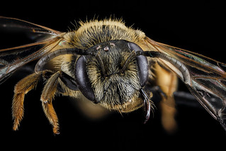 Andrena ilicis, F, face, Maryland, Somerset_2013-02-20-14.07