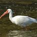 Kemah - White Ibis