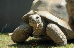 Aldabra turtle Artis JN6A2450 (j.a.kok) Tags: schildpad turtle aldabraschildpad aldabraturtle reuzenschildpad reptile reptiel animal artis giantturtle