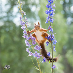 Red squirrel in a split between an Delphinium (Geert Weggen) Tags: beauty blossom blue closeup colorimage delphinium extremecloseup field flower flowerhead flowerbed fragility greencolor growth herb leaf multicolored nature nopeople outdoors perennial petal photography plant publicpark scenicsnature season spice springtime summer vertical vibrantcolor eurasianredsquirrel autumn animalwildlife animalsinthewild winter woodland squirrel rodent mammal garden split spread yoga reaching bispgården jämtland sweden geert weggen ragunda