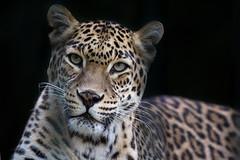 Leopardin (Mel.Rick) Tags: tiere natur säugetiere animal mammals leopard indischerleopard zoo zoowuppertal pantherapardusfusca raubkatzen groskatzen raubtiere carnivora inexplore explored