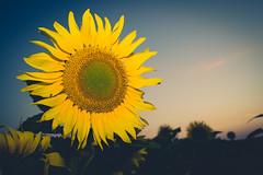 Week 29: Sunflower (Tiph Haine) Tags: sony alpha 7ii sonyalpha7ii sonyfrance fullframe pleinformat 28mm primelense sony28mf2 projet52 52weekprojectphotography amateur lightroom tpix french français france lorraine moselle grandest