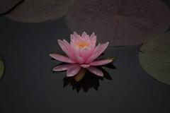 Pink (timvandenhoek1) Tags: jeffersoncity missouri midwest rungenaturecenter waterlily timvandenhoek plant flower pond sonye55210mmzoomlens sonyilce6000