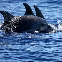 Dolphin Choreography (owilybug) Tags: dolphins bottlenose nature portugal azores atlantic canon canon5d zoom travel travelphotography marine mammals