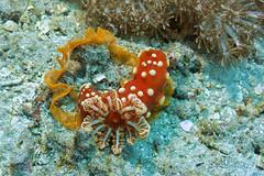 Gymnodoris aurita. Клубничный гимнодорис (atardecer2018) Tags: дайвинг бали 2017 scubadiving underwater diving bali