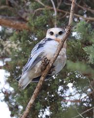 Juvenile white tailed kite (Victoria Morrow) Tags: