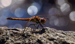 Globe Skimmer (Pantala flavescens) (moniquedoon) Tags: dragonfly insect closeup nature nikon bokeh wildlife small perfection summer