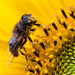 Special meal (LuckMaster) Tags: bee bij sunflower zonnebloem natuur nature flora fauna yellow insect geel