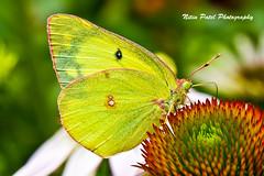 IMG_5881 (nitinpatel2) Tags: butterfly nature nitinpatel macro
