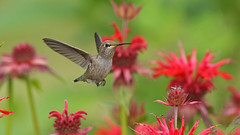 Hummingbird (photosauraus rex) Tags: anna hummingbird vancouver bc canada