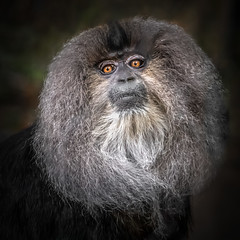 Lion-tailed Macaque (helenehoffman) Tags: monkey macacasilenus primate india baby oldworldmonkey rainforest liontailedmacaque conservationstatusendangered arboreal mammal animal alittlebeauty coth coth5