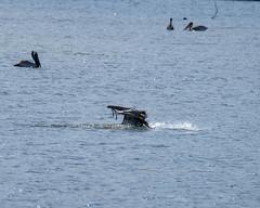 Fuji-X-E3-DSCF1310-20180720 (Drew Saunders) Tags: beach bird california carmel carmelriverstatebeach carmelbythesea ocean pelican seabird
