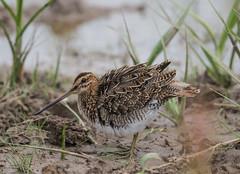Common Snipe 21-07-2018-2044 (seandarcy2) Tags: snipe wader birds wildlife