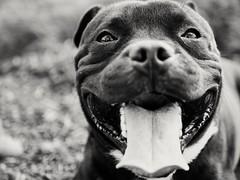 STAFFY❤️ (jérémieabrousse) Tags: dog staffy nature bw blackandwhite bnw photographe puppy love cute dark chien staffie panasonic gx80 lumix