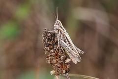 Jumper (Hugo von Schreck) Tags: hugovonschreck macro makro insect insekt canoneos5dsr tamron28300mmf3563divcpzda010