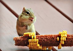 ~Of course I'll smile for you...you're kind and you feed me!~ (nushuz) Tags: cornonthecob animal chippie chipmunk myporch smilinglol adorable hemadeabitofamess hestrippedthatearofcornclean cutenessoverloadwiththetinyfoldedhands