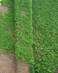 Ivy (pegase1972) Tags: us usa vt vermont unitedstates vigne ivy