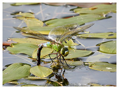 Anax imperator (Vulpe Photographie) Tags: macro eau macrophoto macrophotography insect insecte libellule anax anisoptera france normandie normandy nikon coolpix p900 nature naturelovers dragonfly pond wildlife wildlifephoto wildlifephotography