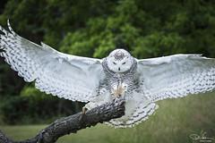 Landing (Don Cortell) Tags: 2018 avian birds birdsofprey buboscandiacus raptors snowyowl talons beak branch eyes feathers feet grass trees wings wingspan