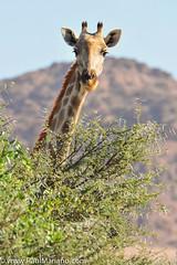 DSC_8764-2 (paul mariano) Tags: paulmarianocom paul mariano allrightsreserved namibia wildlife photography animals africa