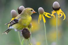 Coneflower Snack (NaturalLight) Tags: female goldfinch feeding grayheadprairieconeflower yellow coneflower chisholmcreekpark wichita kansas