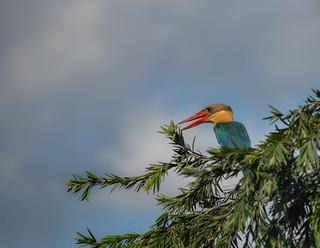 Stork-billed kingfisher on tree top