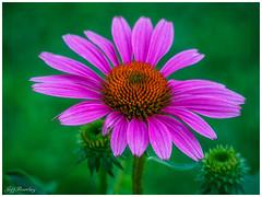 Coneflower (jiroseM43) Tags: flower conflower nature m43 75300mm olympus em1markii