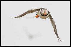 IMG_0110 Puffin (Scotchjohnnie) Tags: atlanticpuffin puffin fratercula fraterculaarctica auk ornithology bird birdphotography birdwatching birdinflight ukbirds seabird farneislands innerfarne stapleisland nature naturephotography naturewildlifeandbirds wildlife wildlifephotography nationaltrust billyshiels gladtidings seahouses northumberland canon canoneos canon7dmkii canonef100400f4556lisiiusm scotchjohnnie