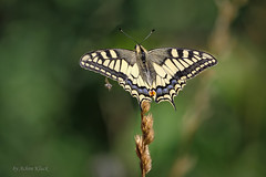 Schwalbenschwanz (Papilio machaon) (AchimOWL) Tags: schmetterling insekt insect tier tiere animal makro macro outdoor pflanze wiese dmcgh5 gh5 natur nature lumix panasonic tagfalter postfocus ngc macrodreams schärfentiefe wildlife stack fauna schwalbenschwanz ritterfalter papilionidae butterfly papilio