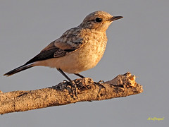 Joven de Collalba rubia (Oenanthe hispanica) (41) (eb3alfmiguel) Tags: aves pájaros passeriformes turdidos turdidae joven de collalba rubia oenanthe hispanica