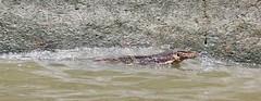 "Bangkok: A local... (Ali Bentley) Tags: bangkok thailand southeastasia klong khlong ""longtail boat"" monitor lizard"