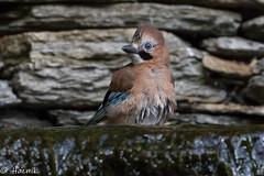 Jay juvenile (Knutsfordian) Tags: garrulusglandarius jay bird corvid water outdoor garden waterfall pond juvenile fledgling