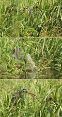 Purperreiger - Ardea purpurea - Purple Heron (merijnloeve) Tags: purperreiger ardea purpurea purple heron bleskensgraaf alblasserwaard oudalblas polder noordzijde zh graafstroom voormalige gemeente molenwaard algemeen