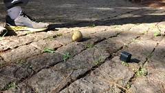 Exploding a spore grenade! (Derek Midgley) Tags: madagascar fungus mushroom spores explode released