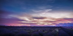 Rise Of The Bees (R41) [Explored 2018.07.10] (Darblanc ( http://darblanc.com )) Tags: canoneos7d countryside hills mountains nature darblanc darblancphotography photography xavdarblanc xavdarblancphotography photo coloursshapesandmoods spring colour series stackedimages bluehour night sunrise artphoto longexposure panorama clear clouds landscape nightsky lavender flowers france frenchalps provence alpesdehauteprovence valensole plateaudevalensole