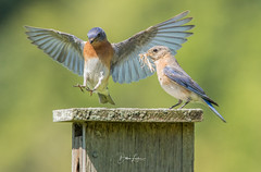 Nesterations (Dawn Loehr Photography) Tags: dawnloehrphotography canon7dmarkii tamron150600 birds bluebird nature naturephotography wildlife wildlifephotography wings blue
