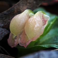 corybus unguiculatus (Kezfoto) Tags: corybasunguiculatus pelicanorchid smallorchid nativeorchid tasmania rare orchid corybas