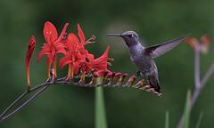 Monday Macro (robinlamb1) Tags: nature outdoor animal bird plant annashummingbird calypteanna lucifercrocosamia flower macro monday macromonday