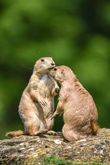 May I have this dance please madame (Paul Wrights Reserved) Tags: bokeh prairiedog dog dogs prairiedogs mammal mammals love dance dancing