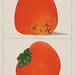 A vintage illustration of fresh persimmons from the book Commissioner of Agriculture (1887). Digitally enhanced from our own original plate.