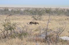 DSC_2482 (Andrew Nakamura) Tags: etosha namibia etoshanationalpark projectdragonfly earthexpeditions mammal bigcat felid leopard africanleopard animal wildlife