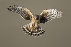 Northern Harrier (Ken Phenicie Jr.) Tags: northernharrier female flight vole meal predate edlevin