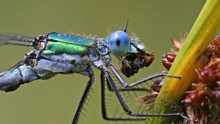 Scarce Emerald Damselfly (m) - Lestes dryas.