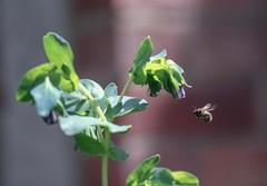 Buzzing Around (haberlea) Tags: garden cerynthe bee flying nature flowers green purple plant mygarden