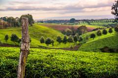 Tea field near Niarobi, Kenya (BryonLippincott) Tags: kiambucounty kenya ke africa rural outdoors farm farmland tea teafarm bushes teatrees trees fields path walkingpath farming agriculture harvest bluesky coulds sun sunlight